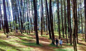 Hutan Pinus Nongko Ijo