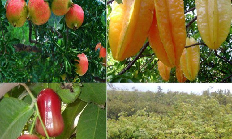 Agrowisata Jambu Merah Delima dan Belimbing