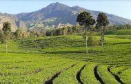 Kebun Teh Wonosari, Destinasi Wisata Alam & Edukasi Favorit di Malang
